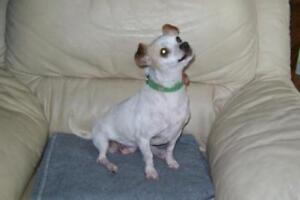 """Adult Female Dog - Chihuahua-Mixed Breed: """"Dolly"""""""