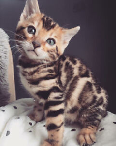 TOP QUALITY TICA REGISTERED BENGAL KITTENS FOR SALE