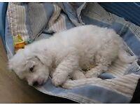 Bichon Frise Puppy (boy) URGENT SELLING