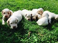 Gorgeous Cocker X Lab Puppies for Sale