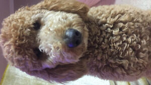 GoldenDoodle F2 -Puppy litter