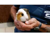 guinea pigs females must stay together