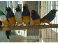 RAINBOW GOULD IAN not zebra FINCH + CAGES