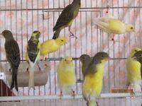 canaries for sale, various colours, excellent pets.