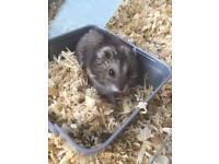 Dwarf Hamster for sale - collection only