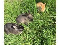 Netherland dwarf babies ready now