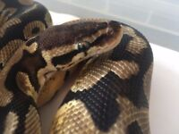 Female Pastel Ball Python For Sale! Great Appetite & Easy To Handle!