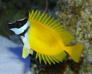 ***Beautiful and Healthy FoxFace Rabbit Fish & Niger Trigger***