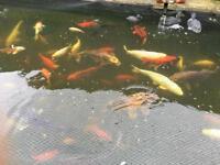 Koi carp goldfish ghost carp uv lights
