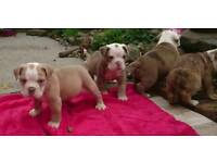 Merle old English bulldog litter