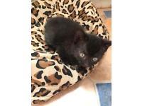 Female black kitten for sale