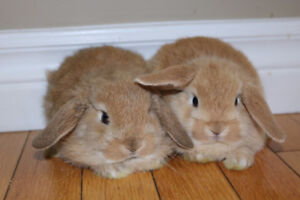 Holland lop and lionhead bunnies