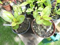 Plants for sale-Malabar spinach plants-50p per pot