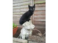 Black male kittens