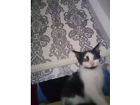 10 week old male black and white kitten £15.00