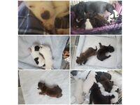 Staffy pups