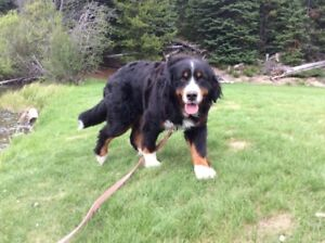 Lost Dog - Bernese Mountain Dog South Vancouver