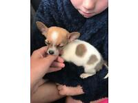 Chihuahua cross miniature pinscher puppy