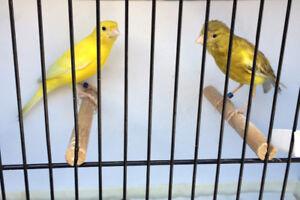 Couple de canaries/Canary Couple