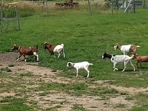 Selling herd of goats