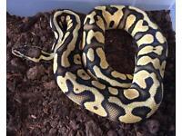 Super Pastel Royal Python / Snake