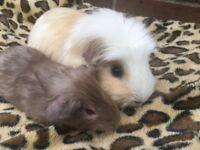 Stunning guinea pigs