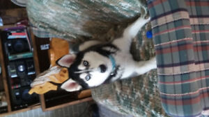Luna the lost husky * REWARD*