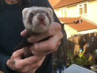 Baby Ferrets Jill's and hobs 9 weeks old ready to leave now £10 each