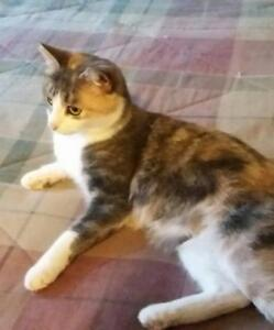 """Young Female Cat - Dilute Calico: """"Lucia"""""""