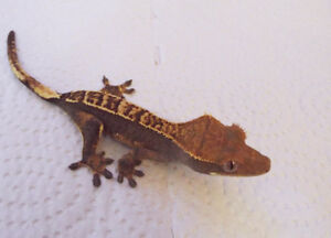 CRESTED GECKO - Hunter