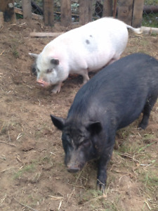 3 pot belly pigs free.