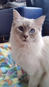 CaperCats - TICA Registered Ragdoll Kittens