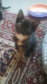 2 kittens for sale - Black Tortoise + Tabby