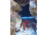 Marine reef lobster