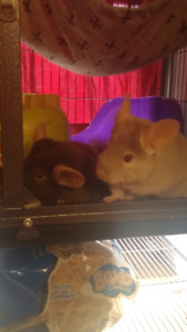 2 chinchillas trained and proven breeders