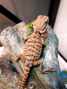 Unique speciality bearded dragon babies available