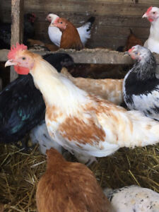 Young Roosters for Sale