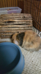 Harley Quinn holland lop rabbits 60-80$ GREAT DEAL!