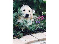 Pedigree vet checked golden retriever puppies