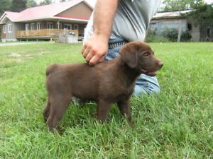 Australian Shepherd and Lab Cross Puppy For Sale