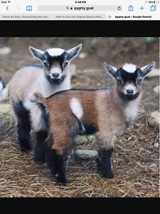 LOOKING FOR TWO PYGMY GOATS