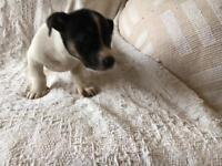 Jack Russell pups (dogs)