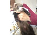Ferret hobs and Jill's for sale
