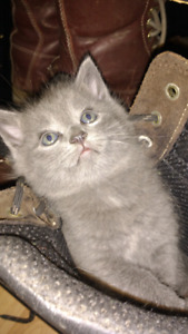 Two Left Russian Blue mixed  with Norwegian  forest cat