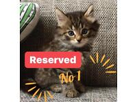 HALF PERSIAN KITTENS 1 LEFT ONLY