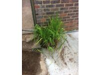 Pond plant free to collector