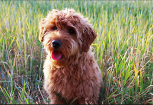 Looking for young goldendoodle or poodle cross