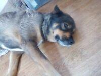 Adorable husky x rottie