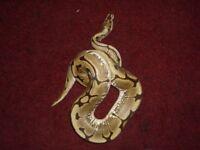 Female Spider Royal Python for sale