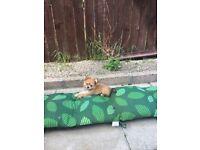 Chorkie pup 14 weeks